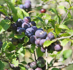 Plums: Meet the producers